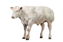 Belgian blue bull (8 months old) Royalty Free Stock Photo