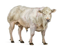 Belgian blue bull (8 months old) Royalty Free Stock Photos