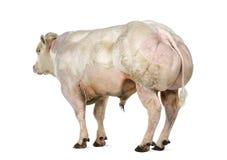 Belgian blue bull (8 months old) Stock Image