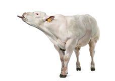 Belgian blue bull (8 months old) Stock Photos