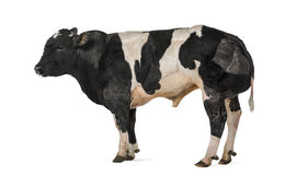 Belgian blue bull (16 months old), Royalty Free Stock Photos