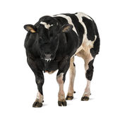 Belgian blue bull (16 months old), Royalty Free Stock Photo