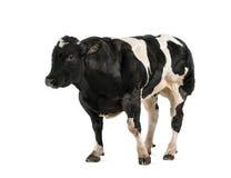 Belgian blue bull (16 months old), Stock Photos