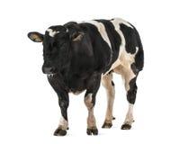 Belgian blue bull (16 months old), Stock Photo