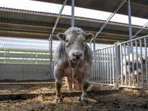 Belgian blue bull with a ring in his nose, big balls, with yellow ear tags, standing, in a stable royalty free stock photos