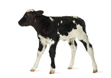 Belgian blue calf Royalty Free Stock Photos