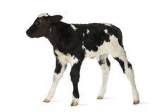 Belgian blue calf Royalty Free Stock Photos