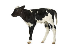 Belgian blue calf Royalty Free Stock Image