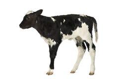 Belgian blue calf Royalty Free Stock Image