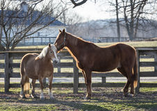 Belgian and Chestnut Horses. A young Belgain draft horse and an adult Chestnut in the early morning sun in New York`s Hudson Valley stock images