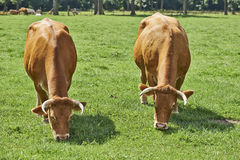 Belgian cows Royalty Free Stock Images