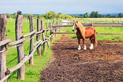 Belgian Draft Horse Royalty Free Stock Images