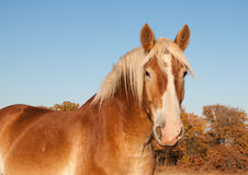 Belgian Draft horse against fall colored trees Stock Image