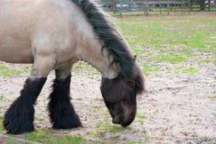 Belgian Draft Horse Stock Image