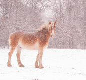 Belgian draft horse in a blizzard, Stock Image