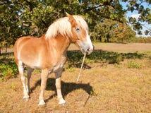 Belgian Draft horse carrying a stick stock image