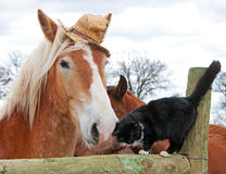 Belgian Draft horse and a cat. Belgian Draft horse wearing a silly worn out straw hat nuzzling with his tiny black and white kitty cat friend royalty free stock photo