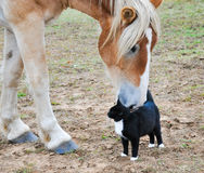 Belgian Draft horse with a cat. Big Belgian Draft horse curiously nibbling on a black-and-white kitty cat royalty free stock photo