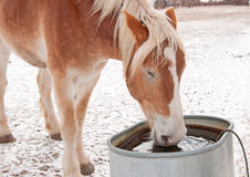 Belgian Draft horse drinking water. From a water trough on a cold winter day royalty free stock photography