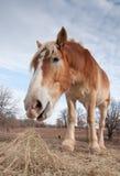 Belgian draft horse eating hay Royalty Free Stock Image
