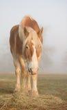 Belgian draft horse eating his morning hay Stock Image