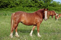 Belgian draft horse in the grass. Belgian draft horse looks at the photographer while standing in the grass of a Dutch meadow on a sunny day stock images