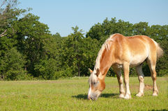 Belgian Draft Horse grazing Stock Images