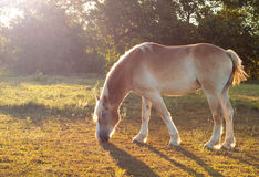 Belgian Draft horse grazing in morning sun Royalty Free Stock Photos