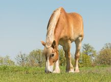 Belgian Draft horse grazing on a sunny spring pasture stock image