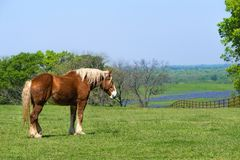 Belgian Draft Horse on green Texas spring pasture. Belgian Draft Horse standing on green Texas spring pasture. A fence, trees, and bluebonnet field background stock photography