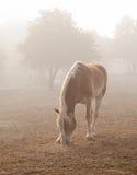 Belgian draft horse in heavy fog Royalty Free Stock Image