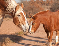 Belgian draft horse with a little pony Stock Photos