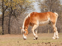 Belgian Draft horse nibbling on spring grass Royalty Free Stock Photo
