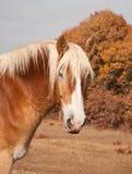 Belgian Draft horse in pasture Royalty Free Stock Photos