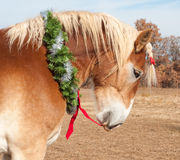 Belgian Draft horse pulling his red bow Stock Photos