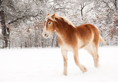 Belgian Draft horse in snow. Belgian Draft horse running in snow Royalty Free Stock Photo