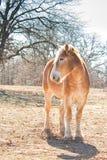Belgian draft horse standing in winter pasture Stock Image