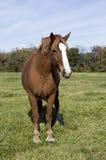 Belgian Draft Horse Royalty Free Stock Photo