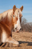 Belgian Draft horse taking a nap in pasture. Enjoying warm rays of sun on a winter day stock photos