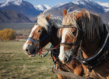 Belgian Draft Horse Team. Harnessed together mountains grass trees Royalty Free Stock Photo