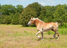 Belgian Draft horse trotting Royalty Free Stock Photography