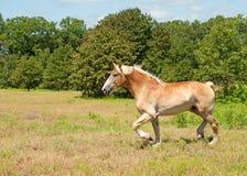 Belgian Draft horse trotting Royalty Free Stock Photography