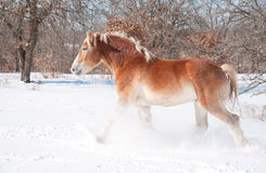 Belgian Draft horse trotting through snow Royalty Free Stock Photo