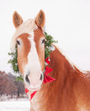 Belgian draft horse wearing a Christmas wreath Royalty Free Stock Images
