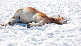 Belgian Draft horse ying down in snow Royalty Free Stock Photography