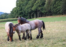 Belgian draft horses Royalty Free Stock Photos