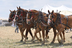 Belgian Draft Horses 4 abreast on hot day. Belgian Draft Horse Team 4 abreast on hot day Stock Photo