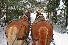 Belgian Draft Horses and sleigh Stock Photos