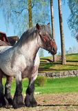 Belgian draught stallion. Sunny  day Royalty Free Stock Images