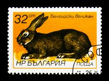 Belgian Giant (Oryctolagus cuniculus forma domestica), Hares and Royalty Free Stock Photography